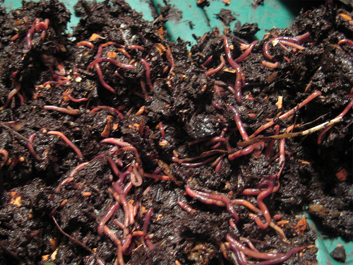 Red Worms to make compost materials