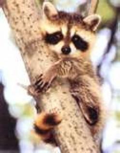 The Common Raccoon - No friend of Queenie
