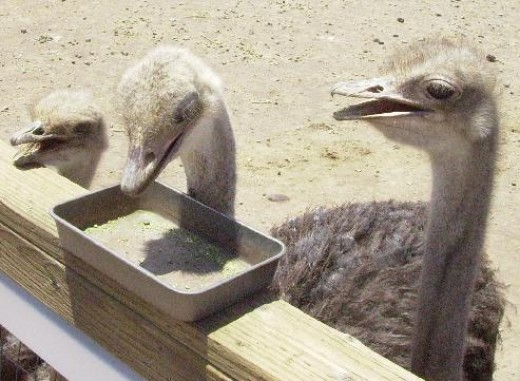 Ostrich eating at Rooster Cogburn's Ostrich Ranch in Picacho, AZ