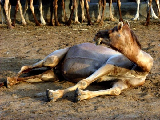 A very pregnant she-camel looks at her companions, engaged in eating out of a huge trough containing fodder. camel farm,Bikaner.