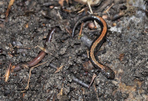 A red-backed salamander scurries for cover.