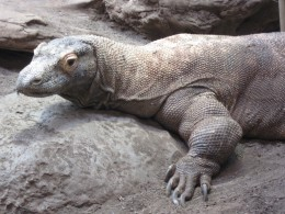 Close-up of live Komodo Dragon