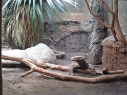 Komodo Dragon - Giant Lizard of Indonesia