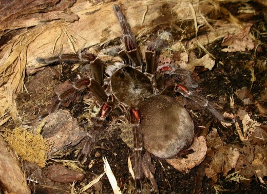Goliath Bird Eating Spider- the world's biggest spider will rub its abdomen with hind legs emitting fine hairs that are irritating to your nose, eyes, throat, lungs and skin. Image Credit: Wikipedia