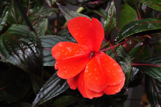 The red of an impatiens is made richer by the moisture of an overnight rain.