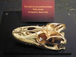 Komodo Dragon skull on display at Woodland Park Zoo in Seattle.