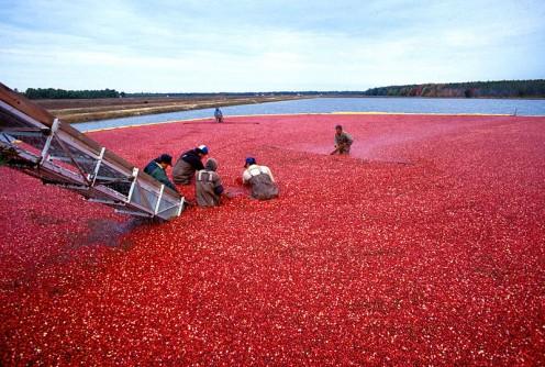 Cranberry bog in harvest season.
