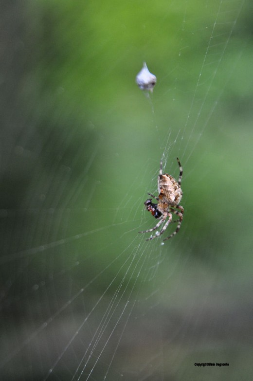 This spider is taking care of its latest victim.