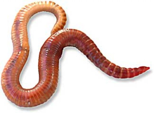 Red Wiggler Worm or Eisenia Foetida