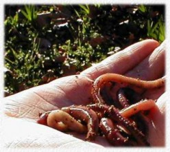 Vermiculture:Managing a worm farm for organic garden composting