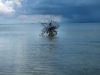 Dead Driftwood Tree Poking Out Of The Shallow Waters