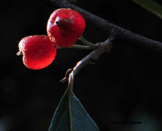 Autumn olive fruit capture the light of the lowering sun this evening.