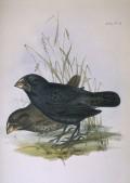 Ground Finch - Beware of the Vampire Bird!
