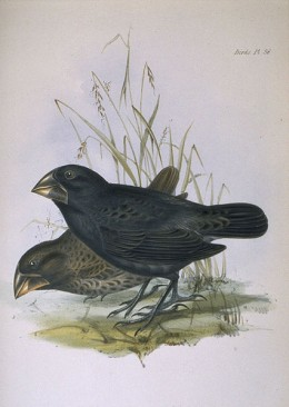 Ground Finch - Beware of the Vampire Bird!