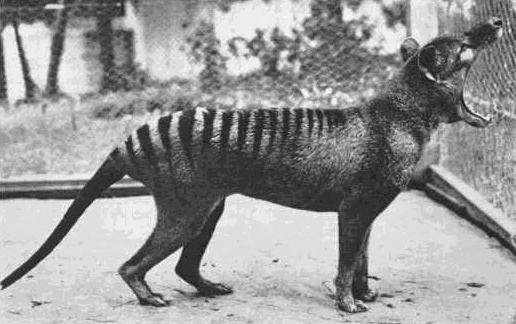 The Late Last Known Tasmanian Tiger - Called Benjamin.