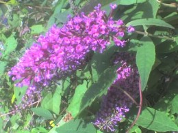 wild buddleia - the butterfly bush