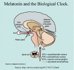 Melatonin production in the brain.