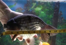 This is Bubba, an adult fancy goldfish...photo courtesy of Daryl from the forums at kokosgoldfish.com