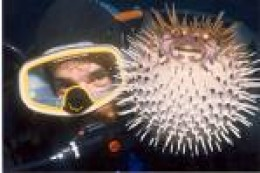 "Puffer Fish, ""puffed"" with diver.  Fun if you don't eat them.            photo healthline.com"