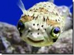 Close relative of Puffer but with heavier spines, The Porcupine Fish also carried the same poison 1200 times stronger than cyanide! Look at those lovely eyes!  just like Lucretia Borgia!   interpretand omimundo.wordpr credit