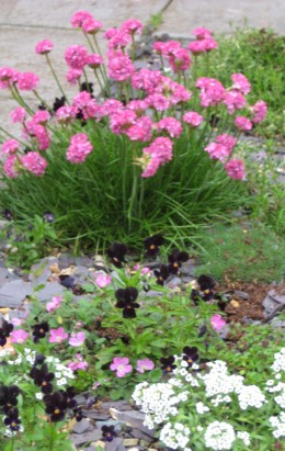 Thrift is a pretty pink flowering plant that can be used for small gardens.