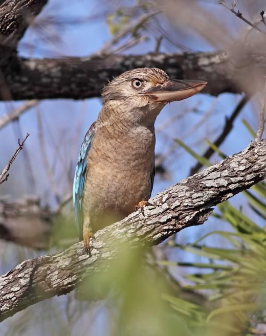 The Kookaburra perching in a twig...