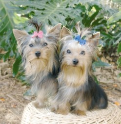 Is A Yorkie Dog The Best Choice For You And Your Family?