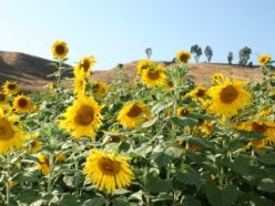 Plants topped with Giant Sunflowers suddenly appeared roadside! We roamed the rows of Sunflowers every year with our children and their friends!