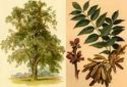 Ash Tree    pern.ni