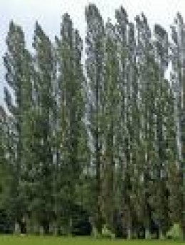 Poplar Trees    flickr.com