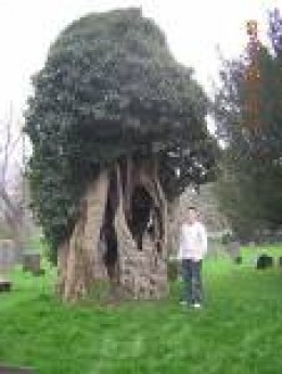 An Ancient Yew Tree...I know this one is older than me!    freewebs.com