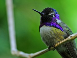 A male Costa's Hummingbird.