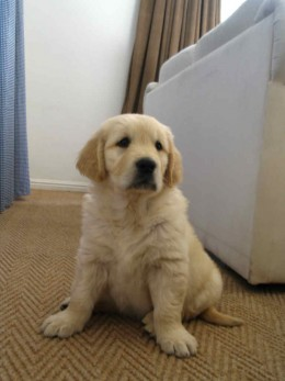 Your new puppy is so cute! Now you have it microchipped you will never lose him...right?