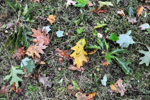 A variety of oak leave in a variety of stages of changing color.