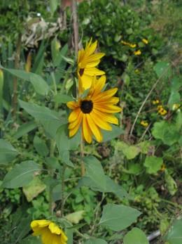 Sunflower Success