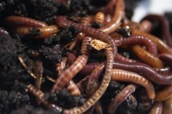 Keeping Red Wiggler worms in worm bins for Organic Gardening