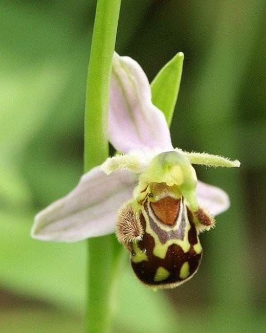 The Bee Orchid has evolved so it resembles a female bee to attract the male bee.