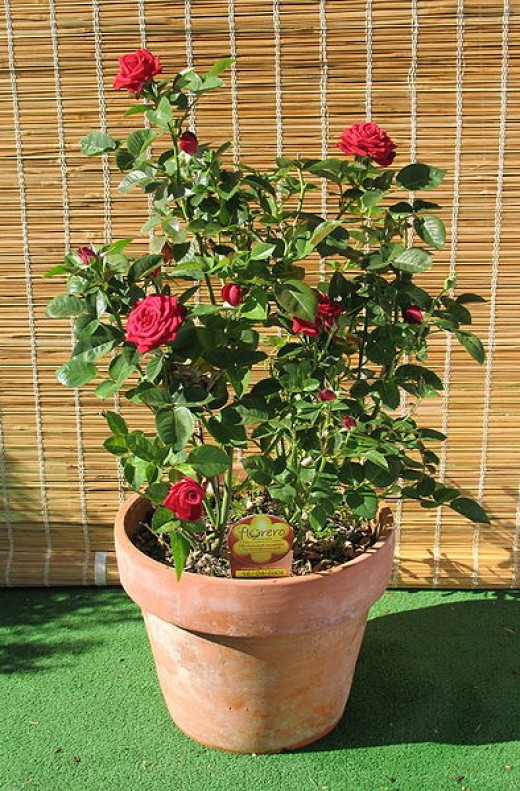 Miniature Rose Growing In A Clay Pot