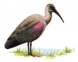 """Bostrychia hagedash from Kenneth Newman's """"Birds of Southern Africa"""" (SAPPI, 2002)"""