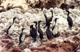 Cormoran birds in the Ballestas Islands.