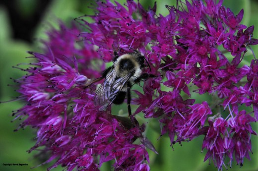 A bee works intently on the flower of a sedum.