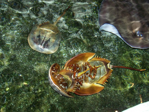 Stingrays and horse-shoe crabs are just a couple of the many animals that can be viewed at the Aquarium.