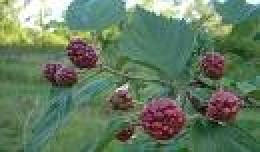 Organically grown Blackberry bushes