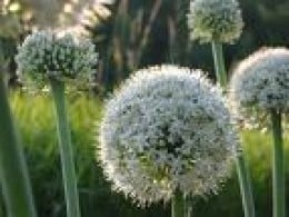 Onions come in a variety of shades for white to deep purple/