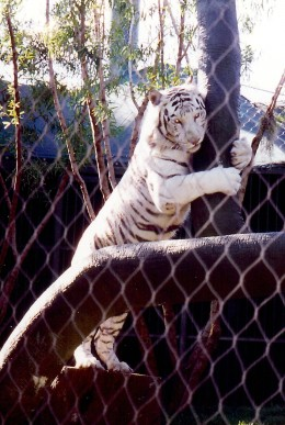 Playful White Striped Tiger