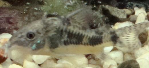 Corydoras - Mottled Armoured catfish