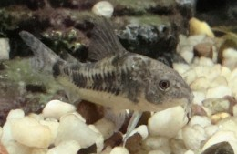 Corydoras - Mottled Armoured catfish from a different angle