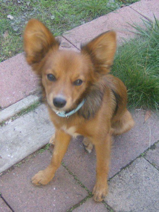 Spike is a papillon and dauchsund mix