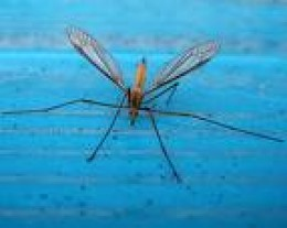 The familiar Daddy Longlegs, or Crane Fly    treknature.com
