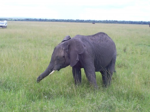 Maasai mara elephant at a close proximity